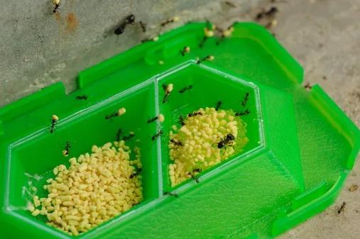 アリの巣コロリ