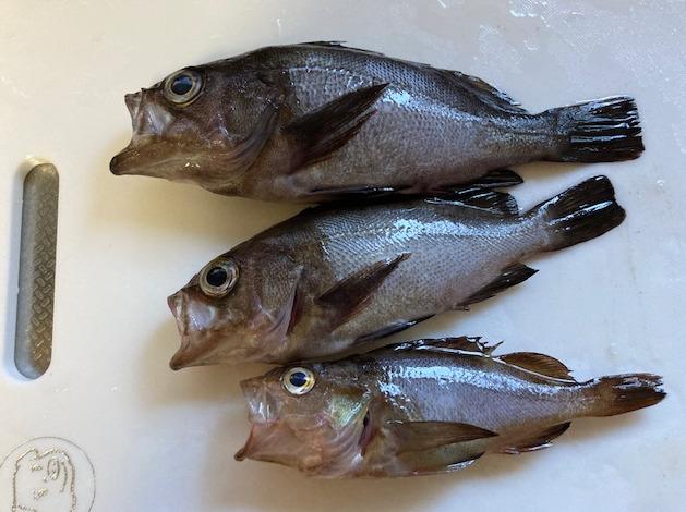 釣果 メバル